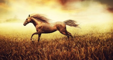 Animals___Horses_____The_horse_galloping_over_the_wheat_field_083741_
